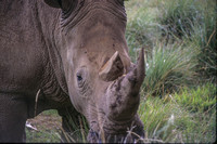 Kenya White Rhino closeup 1