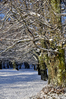 Wallnut trees in the snow 2