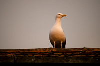 Sea gull on a rooftop